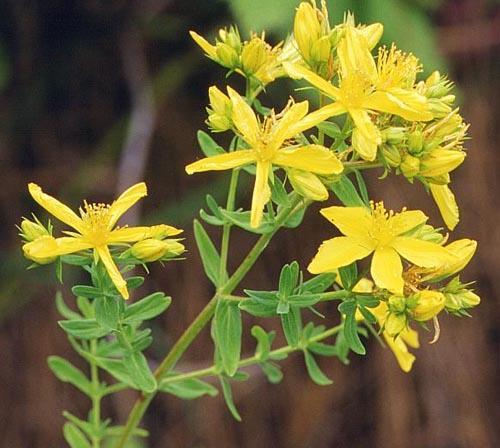 Hipérico o Hierba de San Juan: propiedades, toxicidad y cómo utilizarlo
